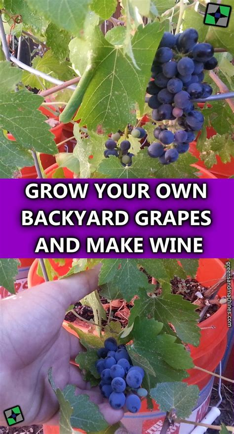 Grow Your Own Grape Vines by 11 Best Sultana Thompson Seedless Grape Images On