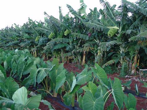 growing dryland taro part i the molokai dispatch
