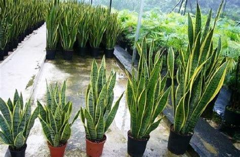 budidaya tanaman hias    indonesia