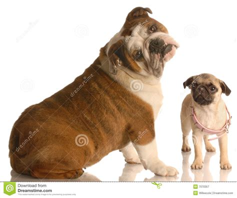 pug royalty pug e buldogue fotografia de stock royalty free imagem 7070357