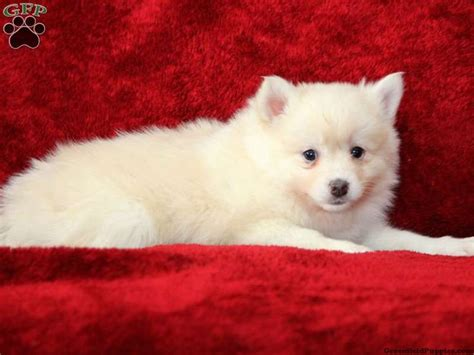 pomsky puppies for sale in az best 25 pomsky for sale ideas on pomsky for sale pomeranian for sale