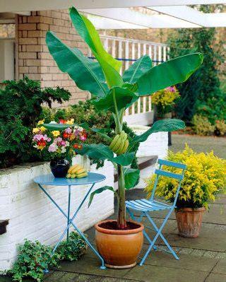 Pepaya California Hibrida cultivo en maceta pl 225 tano o banano