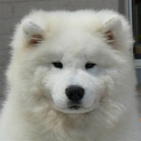 samoyed puppies for adoption show quality samoyed puppy for sale for sale adoption from