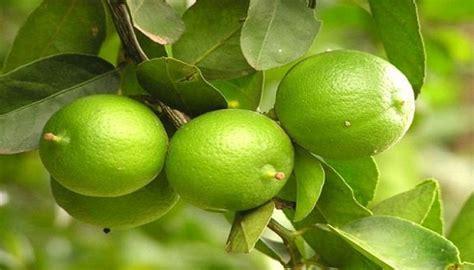 Obat Maag Tradisional Jeruk Nipis basada lung atasi asam lambung dengan jeruk nipis