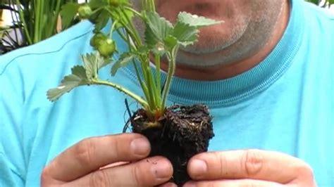 Wann Pflanze Ich Erdbeeren 4534 by Dauertragende Erdbeeren Wie Und Wann Pflanzen