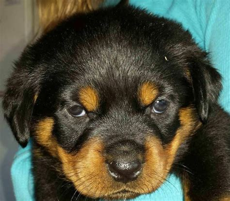 king rottweilers king rottweilers pet services spokane wa united states phone number yelp