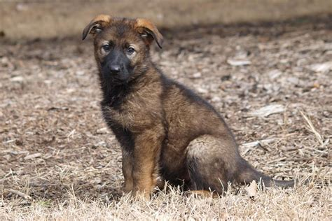 puppy names 2017 2017 rcmp name the puppy contest starts today royal canadian mounted