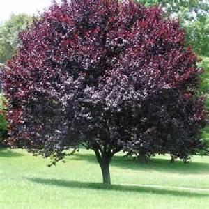 ornamental plum tree fruit ornamental flowering plum tree search results for