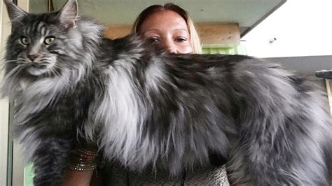 show me pictures of maine coon cats   Cute Cats