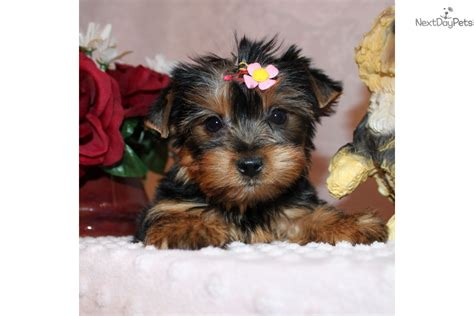 teacup yorkies for sale 500 near me terrier yorkie puppy for sale near los angeles california 7efbc48e 3e21