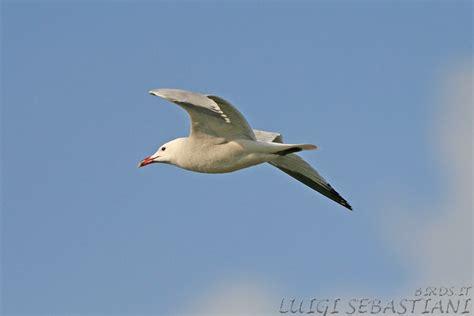 gabbiano corso birds it by luigi sebastiani guida fotografica degli