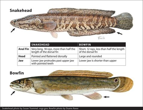 Bullseye Snakehead Fish Pictures