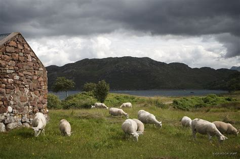 Scotland Search Scottish Sheep In Search Of