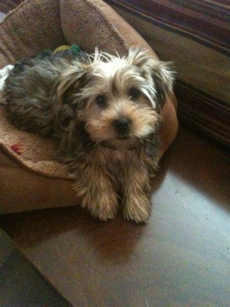 what is a morkie morkie dogs puppy