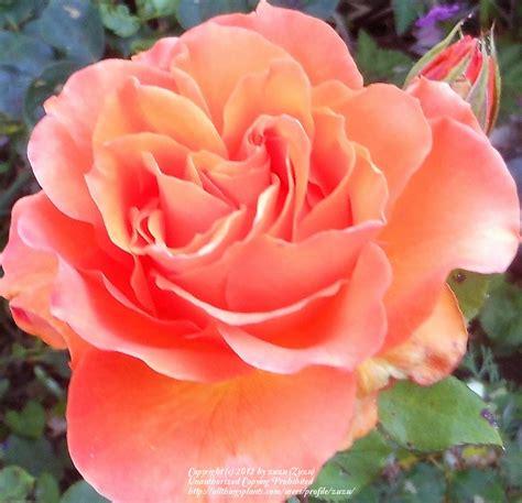 imagenes de rosas diferentes colores rosas naranjas flowers y flores