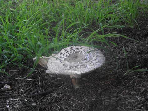 Pilze Im Garten Lamellen by Garten Riesenschirmling Lat Macrolepiota Rachodes Var