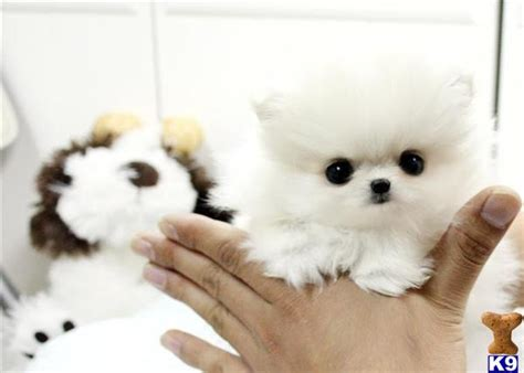 teacup pomeranian for sale in san antonio teacup chihuahua puppies for sale in houston html autos weblog