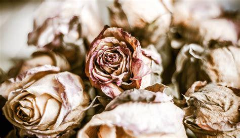 imagenes de rosas marchitas dead roses ii rosas marchitas francisco aguirre flickr