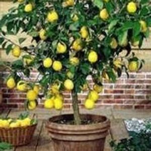 alberi da frutto in vaso 10 alberi da frutto da coltivare nell orto in giardino o