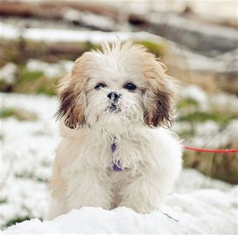 shih tzu how big do they get shichon bichon frise shih tzu shichon or zuchon the hybrid breed shichon is a