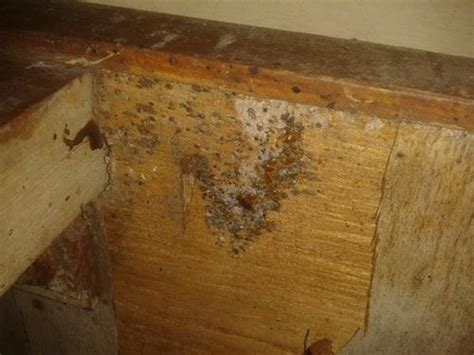 bed bugs in wood signs of bed bugs in wood furniture bed bug hiding inside a dresser look at