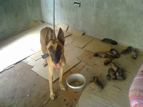 belgian malinois mix puppies for sale puppies day 8 breeds picture