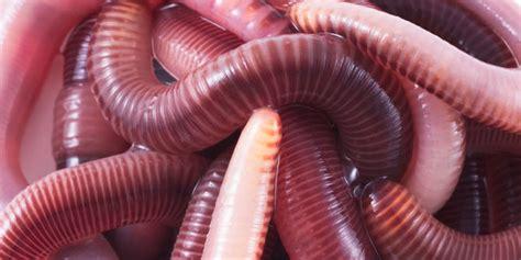 Jual Cacing 2017 manfaat cacing tanah untuk kesuburan tanah pupuk kompos