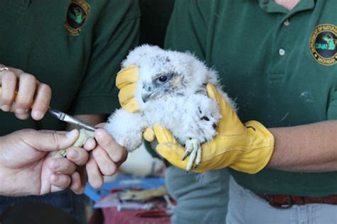 Um Flint Named To Best by Peregrine Falcons Atop Um Flint Building Get Named And Banded