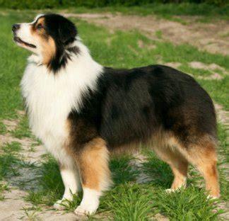 aussie breed australian shepherds advice you can trust