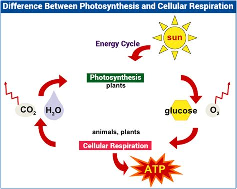photosynthesis and respiration diagram the differences between cellular respiration and