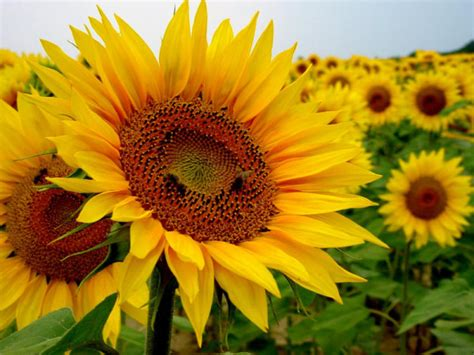 imagenes de flores de cempasúchil cu 225 les son las flores del verano espaciociencia com