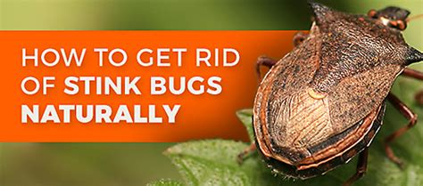 how to get rid of stink bigs organic natural bug