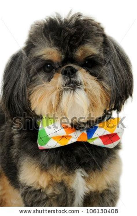 shih tzu bow 17 best images about shih tzus on teddy dogs shih tzu and pets