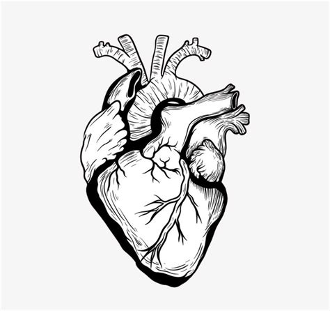 من ناحية رسم القلب القلب الجهاز جسم الانسان png صورة