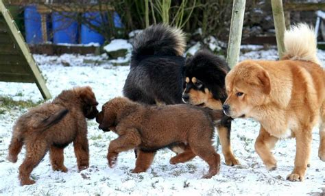 tibetan mastiff puppy price top list of the most expensive breed in the world 2017