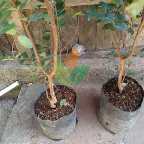 Pohon Buah Anggur Brazil jual bibit anggur brazil stek 70 cm agro bibit id