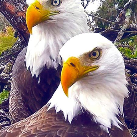 adopt american eagle foundation