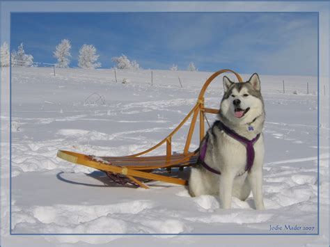 sled dogs sledding wallpapers hd wallpapers