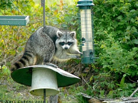 raccoon in bird feeders critters pinterest