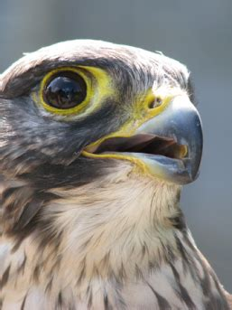 bird of prey deterrent in london surrey and essex