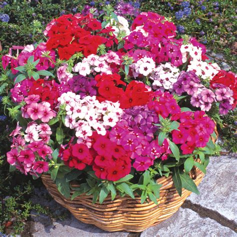 fragrant plants for pots eye catching refreshing with fragrant flowers phlox are