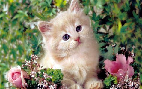 wallpaper cute cats kittens cute kitten kittens wallpaper 16122928 fanpop