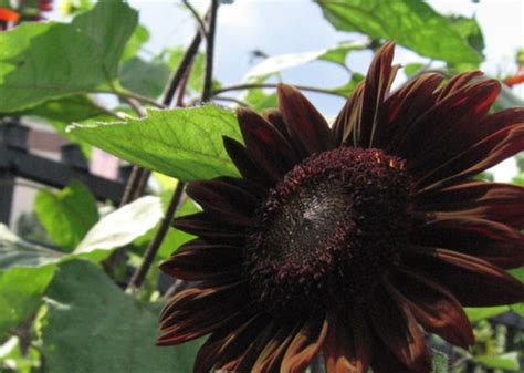 chocolate sunflower grows on you