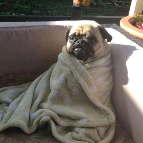 pug on couch cute dogs part 2 50 pics amazing creatures
