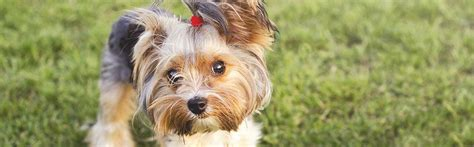 yorkie hip problems 12 common breeds and their health issues