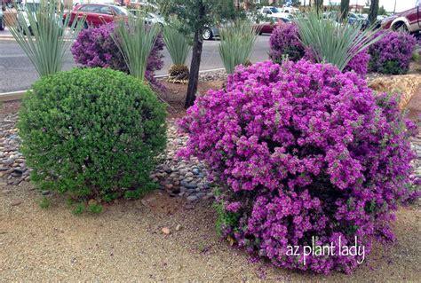 Flowering Shrubs Texas - southwest plant profile texas sage ramblings from a desert garden