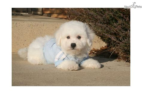 bichon frise puppies for sale in pa bichon frise puppies for sale in pa keystone puppies breeds picture