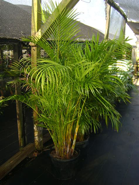 buy areca palm trees  sale  orlando kissimmee