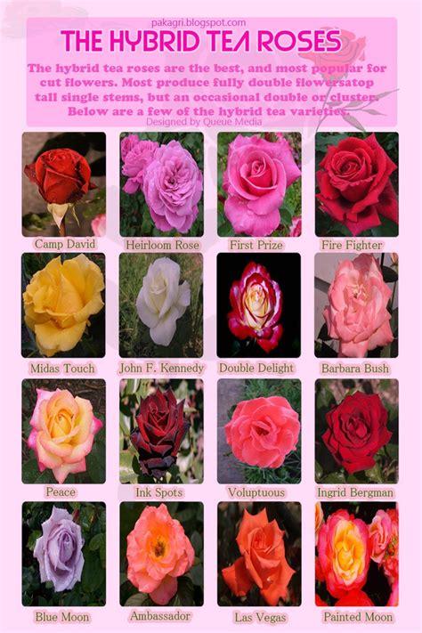 hybrid tea rose varieties rose flower cutflower roses