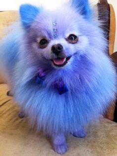 pomeranian hair dye 1000 images about doggie hair dye on creative grooming hair dye and
